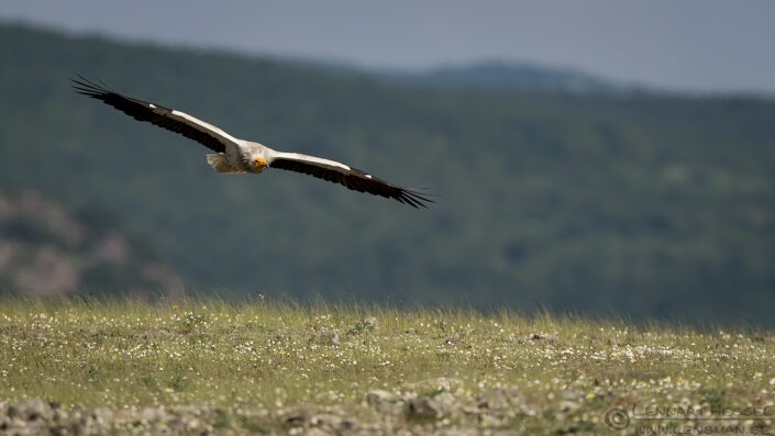 Flying Egyptian Vulture Bulgaria 2016