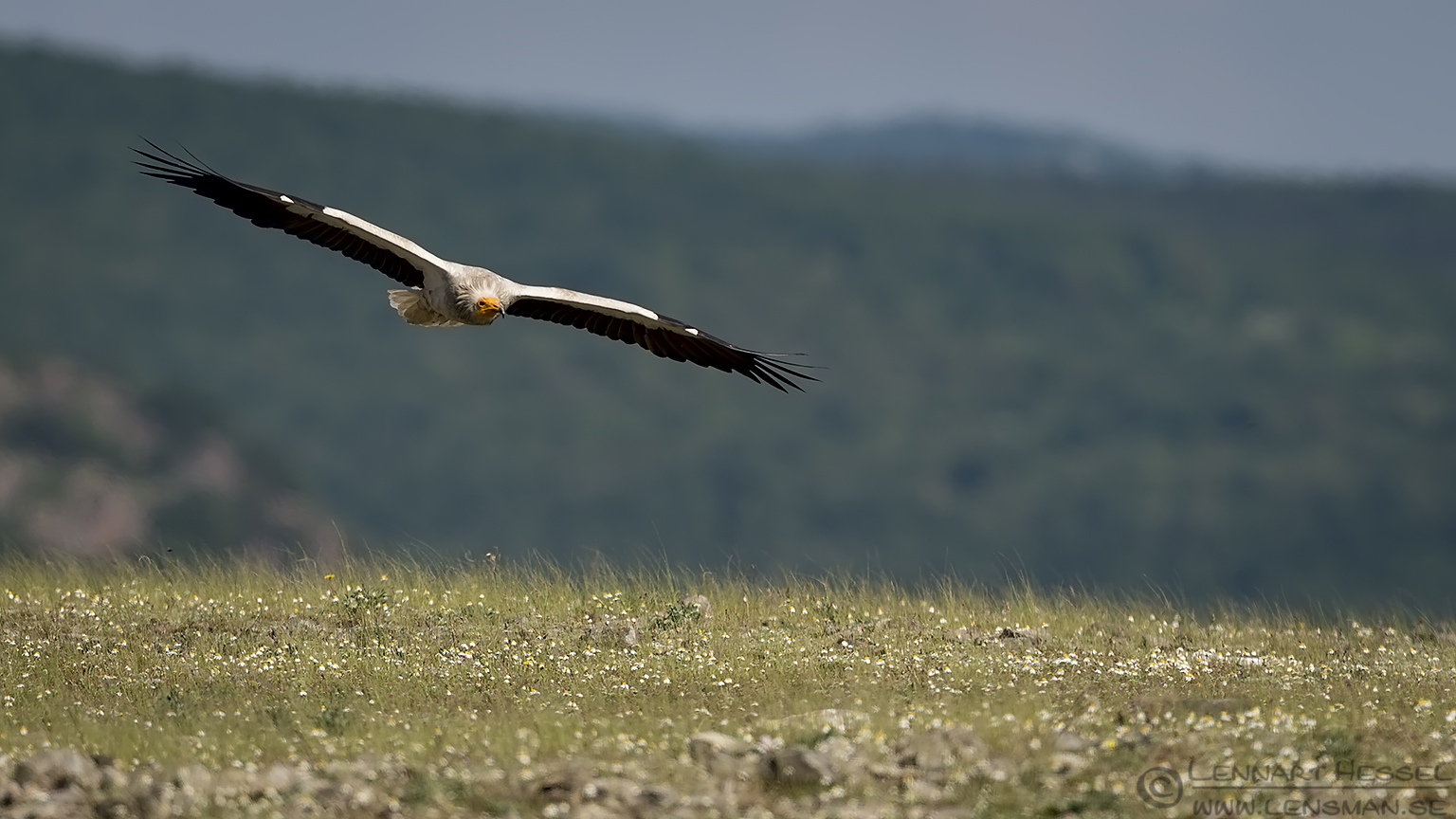 Flying Egyptian Vulture Bulgaria 2016