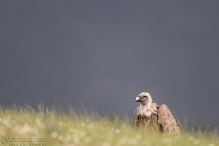 Griffon Vulture in the rain Bulgaria 2016