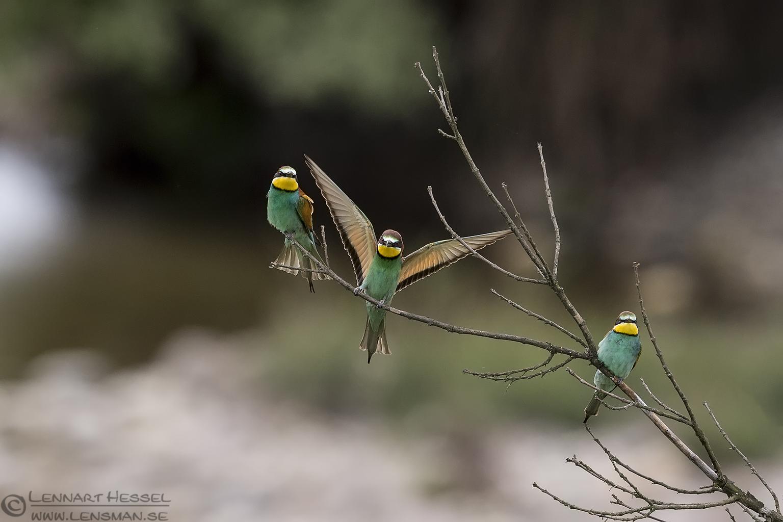 European Bee-eaters Bulgaria 2016