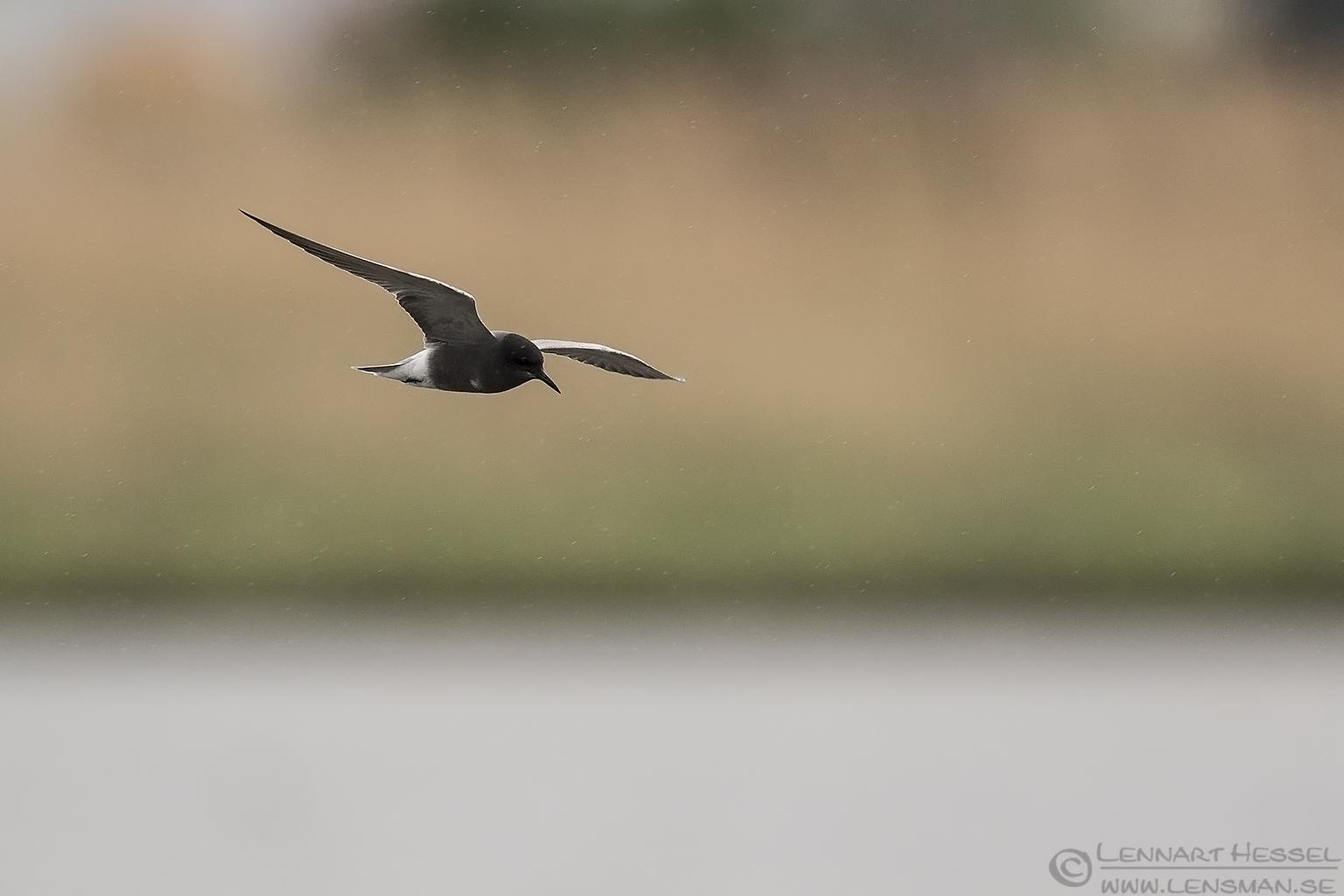 Black Tern Bulgaria 2016