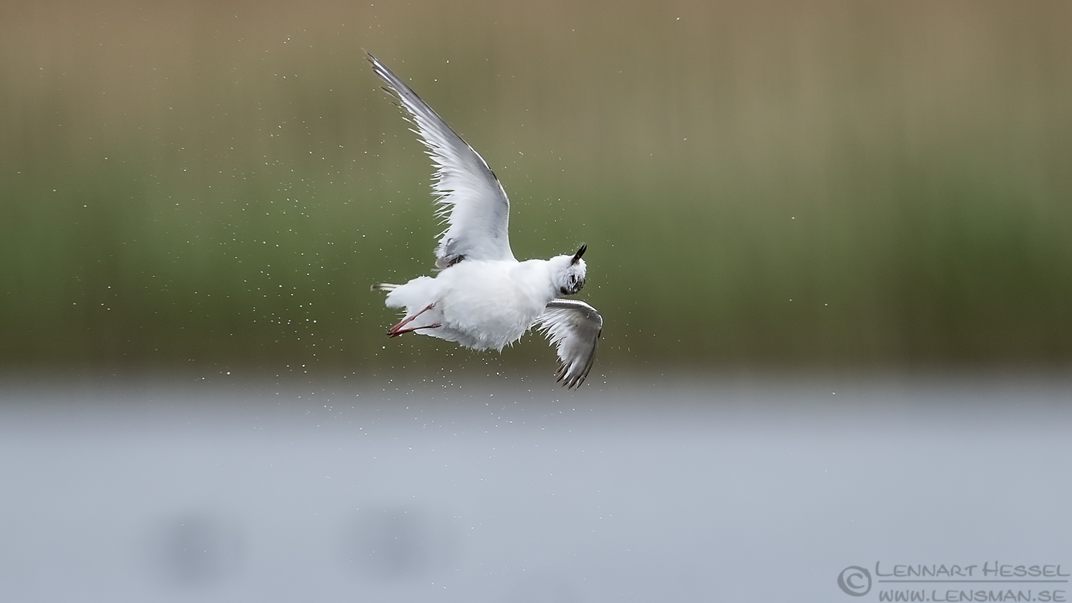 Shaking Little Gull Bulgaria 2016