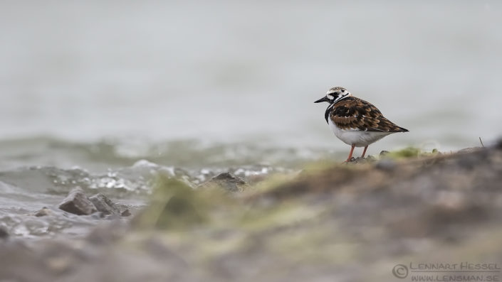 Ruddy Turnstone Bulgaria 2016