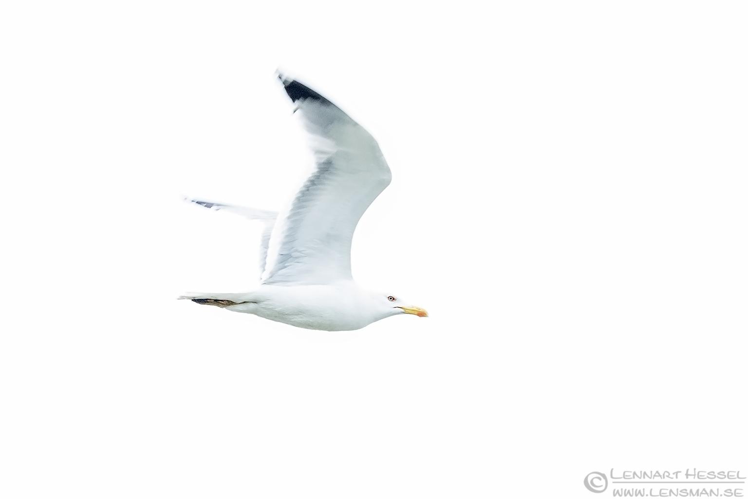 Yellow-legged Gull high key Bulgaria 2016