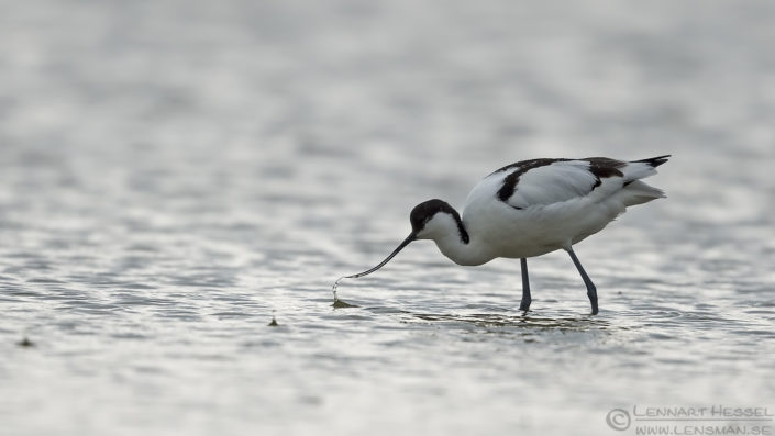 Food searching Avocet Bulgaria 2016