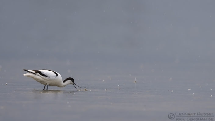 Avocet in the rain Bulgaria 2016