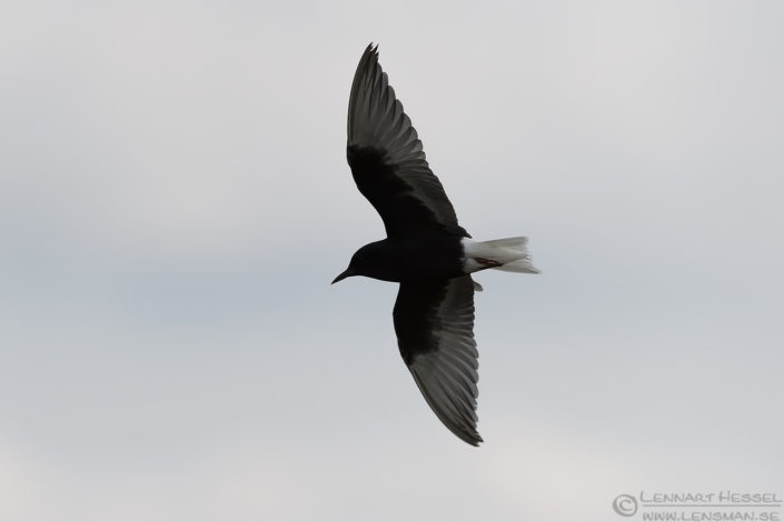 White-winged Tern Bulgaria 2016