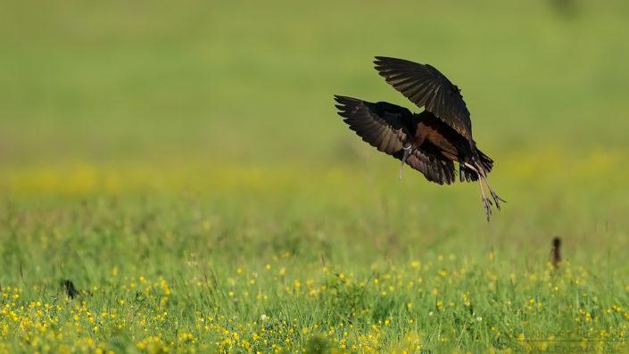 Landing Glossy Ibis Bulgaria 2016
