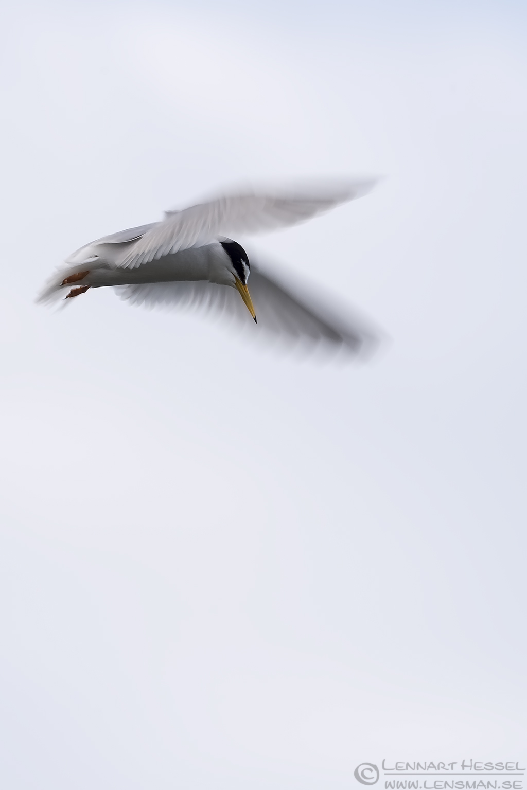 Little Tern Bulgaria 2016
