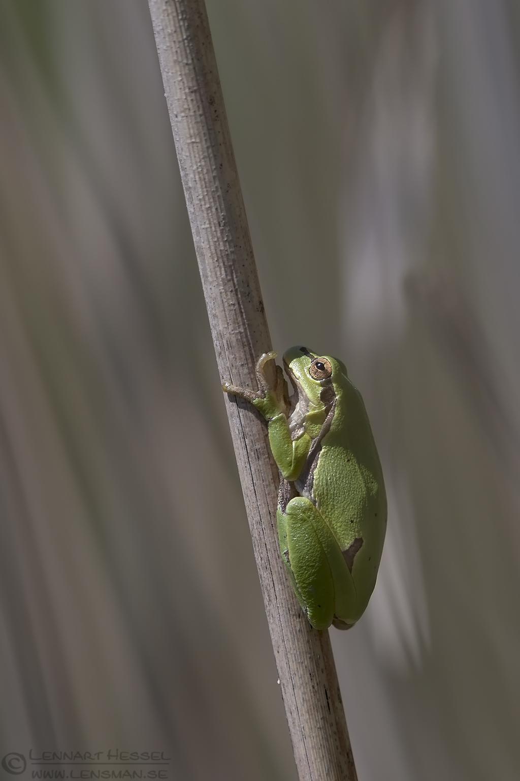European Tree Frog Bulgaria 2016