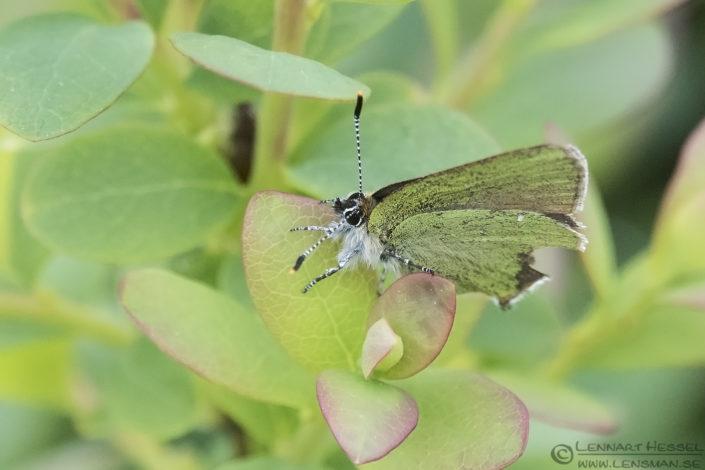 Green Hairstreak butterflies