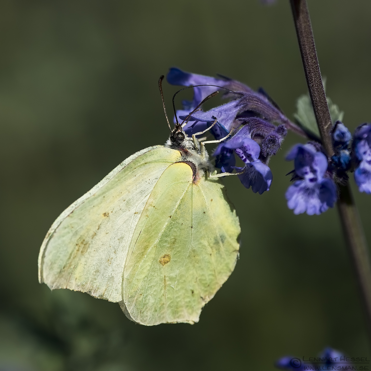 Common Brimstone insects