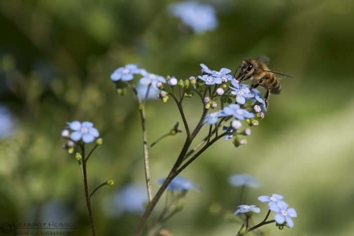 Western Honey Bee insects