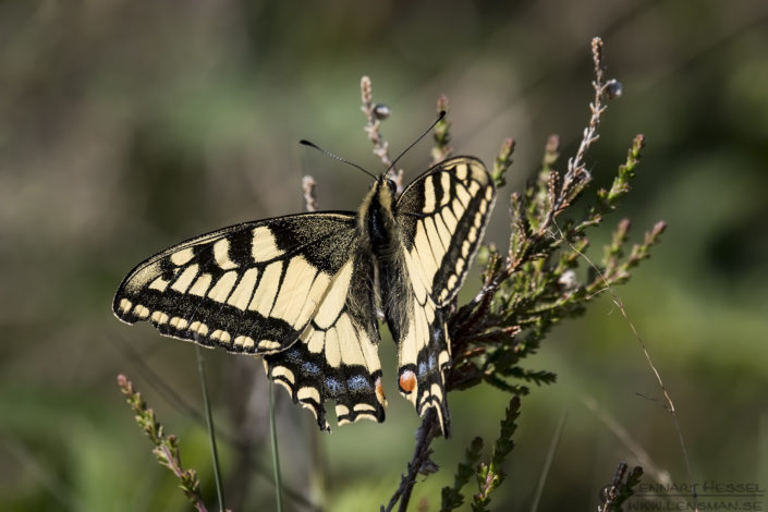 Common Yellow Swallowtail insects