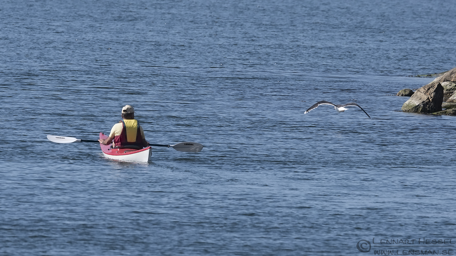 Great black-backed Gull and canoe insects