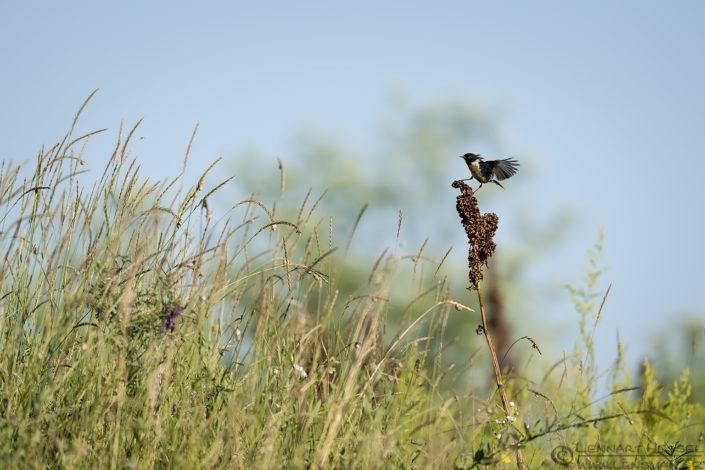 European Stonechat Bee-eater Bonanza 2016