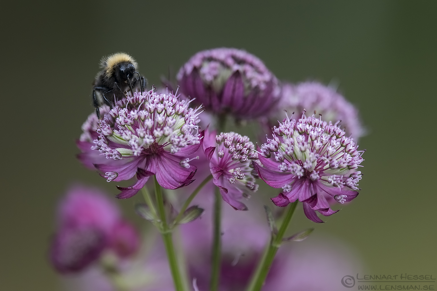 Garden Bumblebee insects