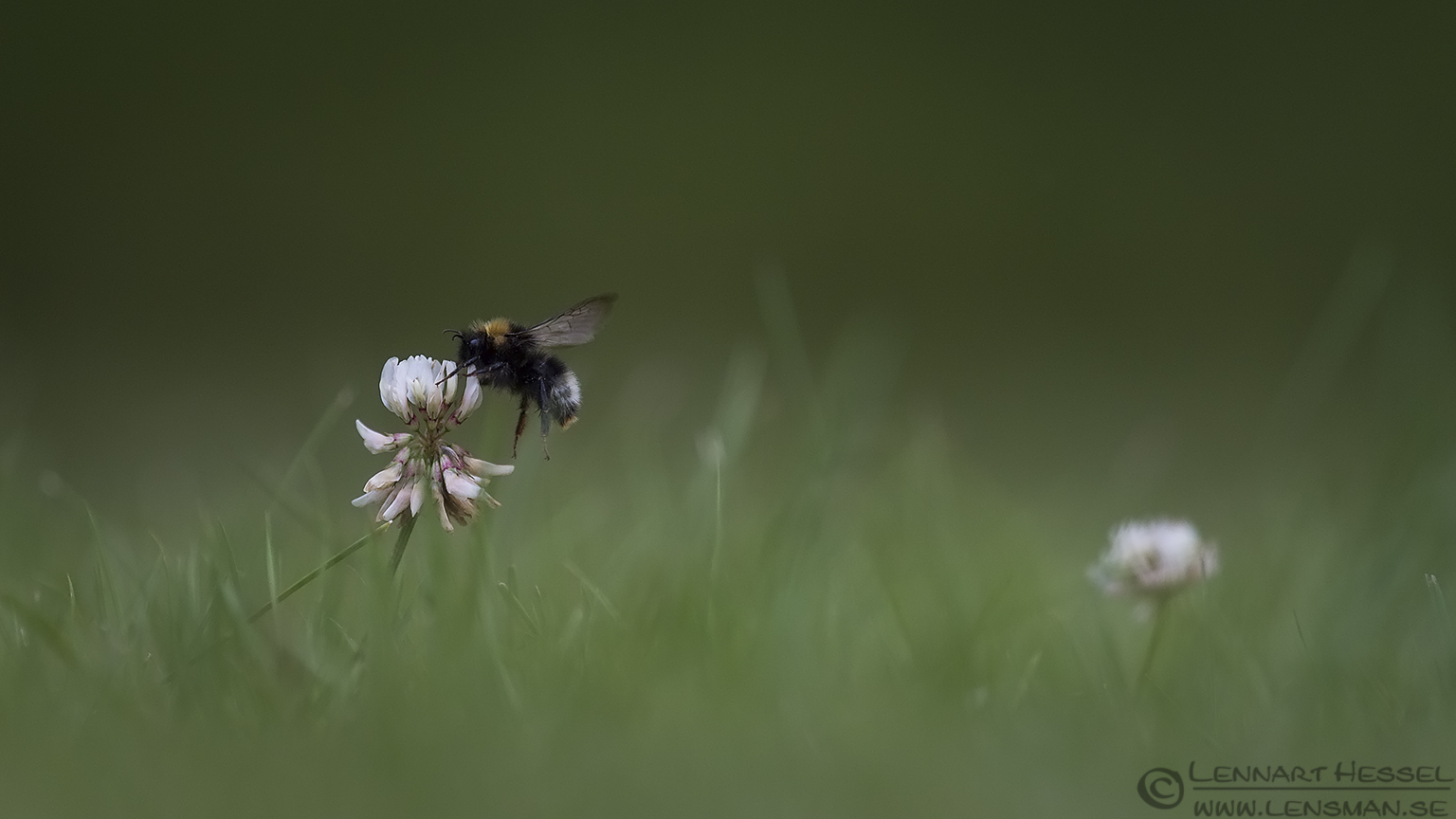 Flying Garden Bumblebee insects