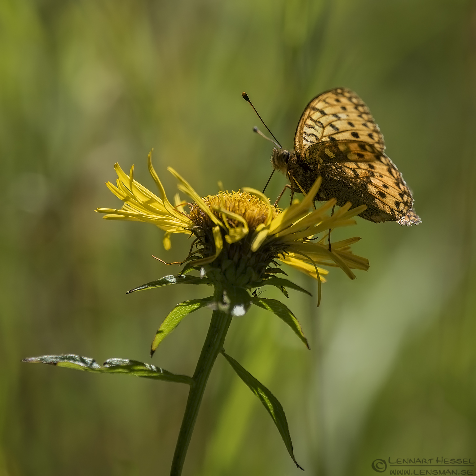 Dark green fritillary warm