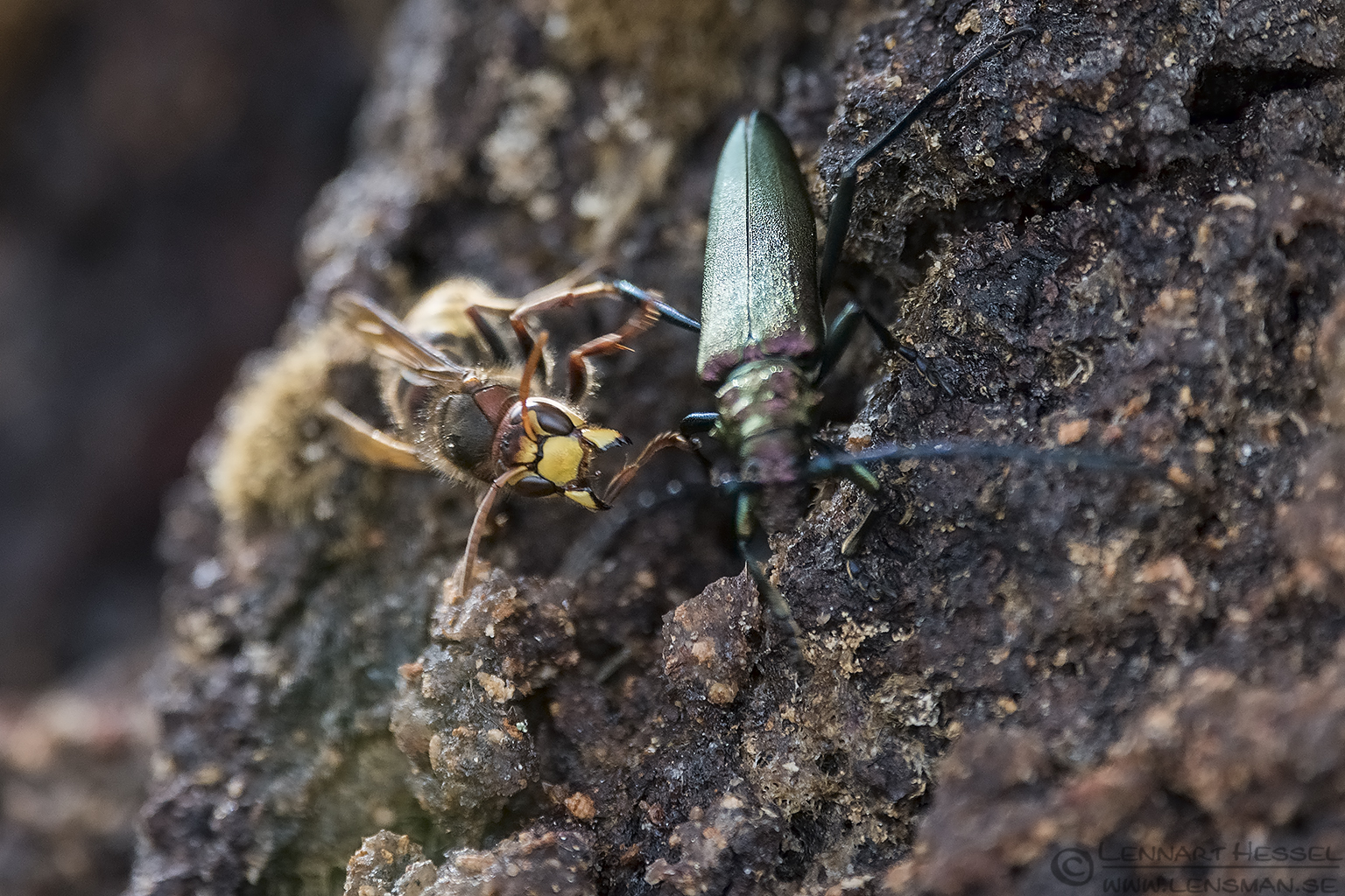 European Hornet attacking Capricorn beetle warm