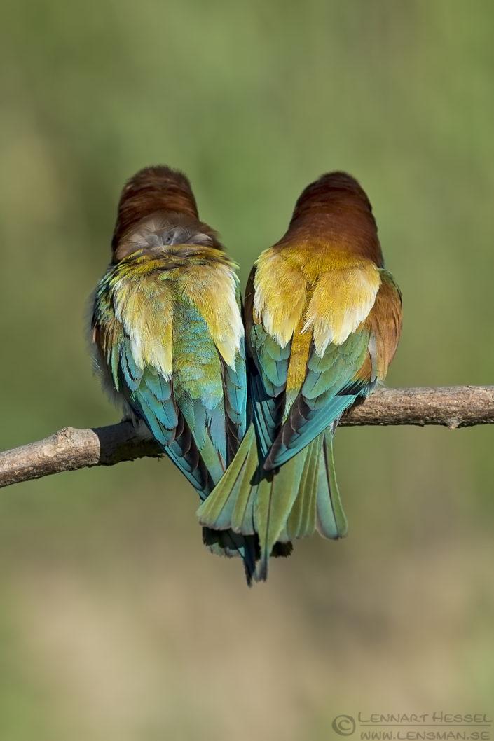 Euoprean Bee-eater Hungary Bee-eater Bonanza