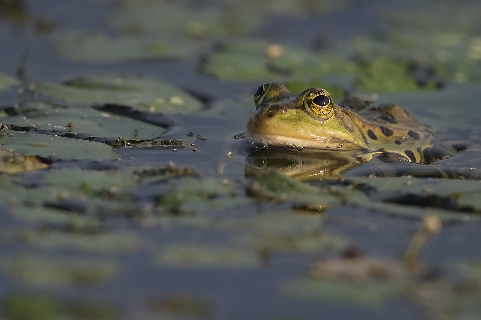 Frog rana Hungary Bee-eater Bonanza