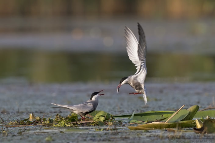 Whisksred Tern Hungary Bee-eater Bonanza