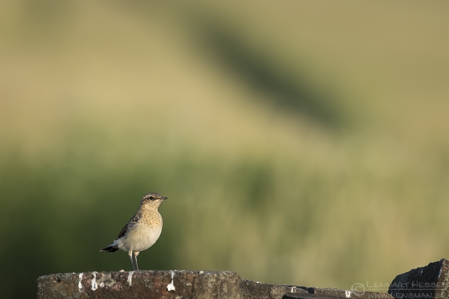 Northern Wheatear Hungary Bee-eater Bonanza
