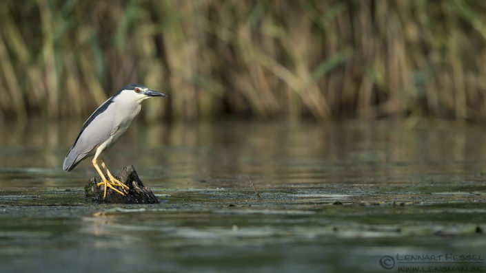 Black-crowned Night Heron Hungary Bee-eater Bonanza
