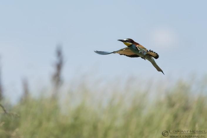 European Bee-eater Hungary Bee-eater Bonanza