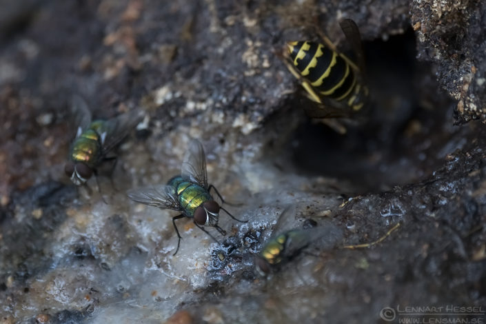 Common Greenbottles and Common Wasp European Hornet