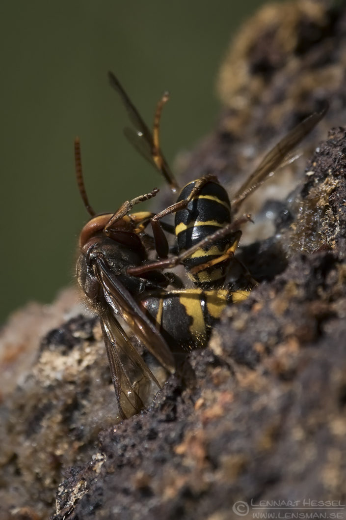 European Hornet attacking Common Wasp