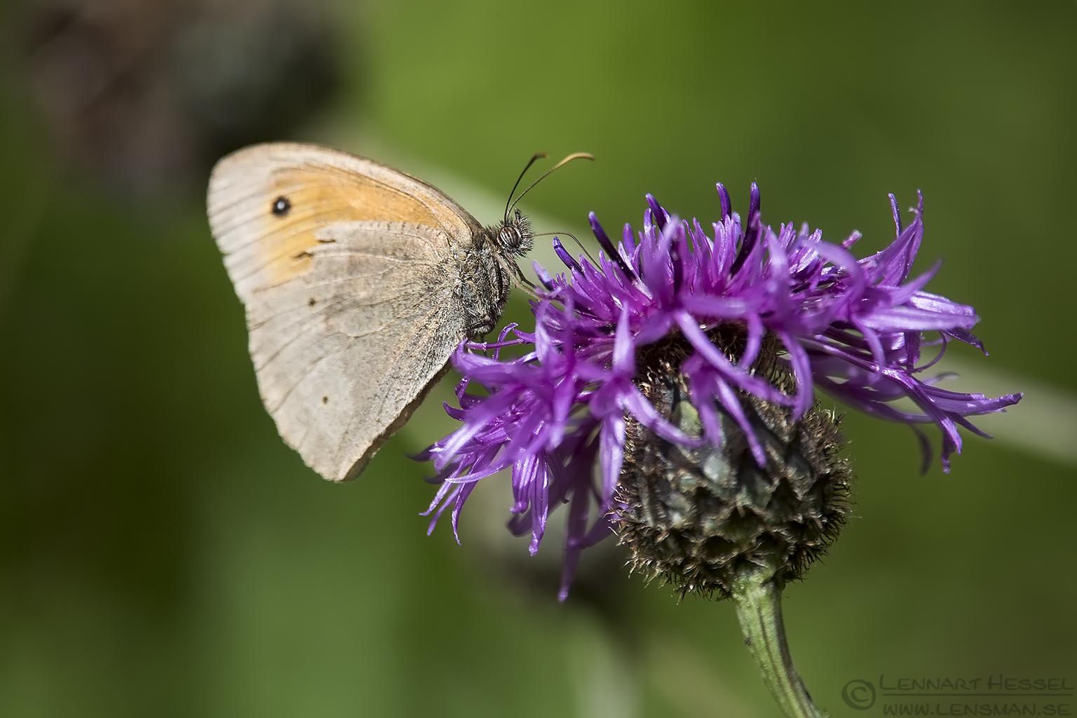 Meadow Brown Butterfly European Hornet