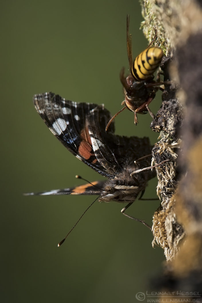 Red Admiral Butterfly and European Hornet
