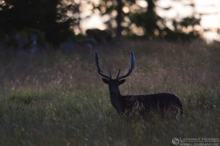 Fallow deer vacklight deer photography
