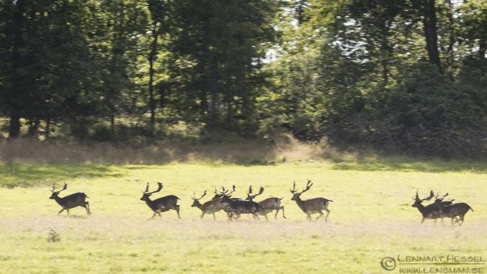 Fallow Deers Gemenc