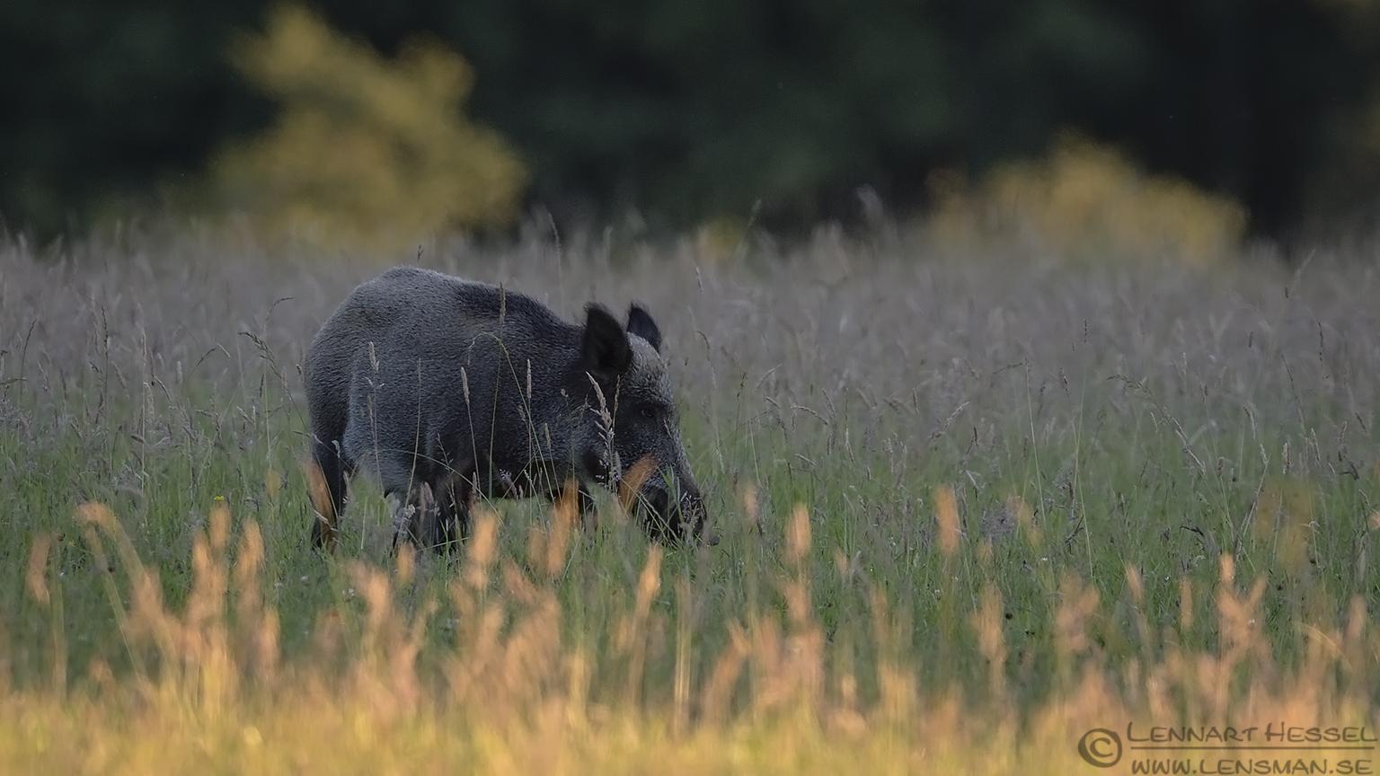 Wild Boar Gemenc