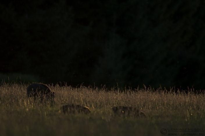 Wild Boars Gemenc