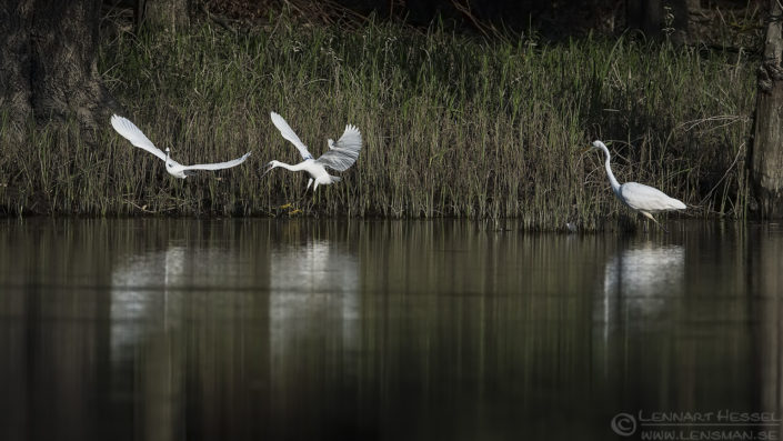 Little Egrets & Great White Egret Duna-Dráva National Park