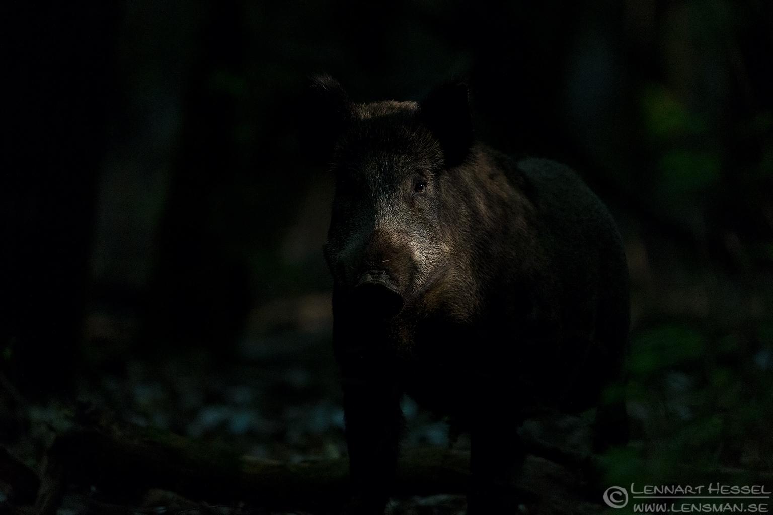 Wild boar sow Duna-Dráva National Park