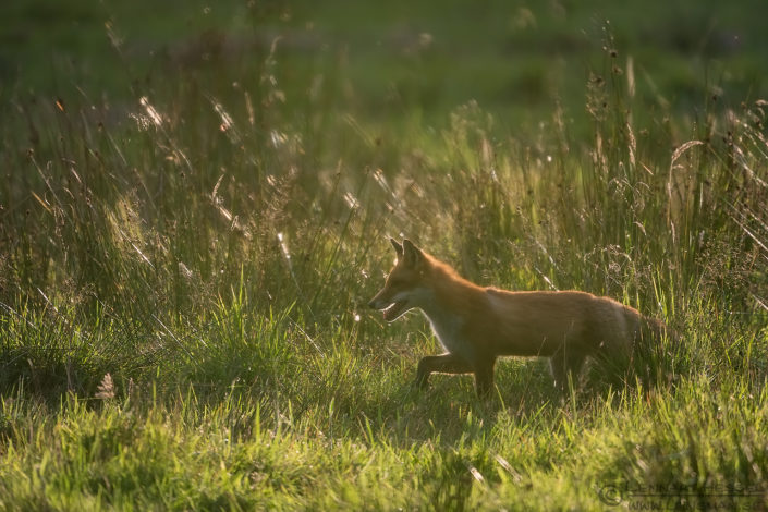 Red Fox in back light Red Deer