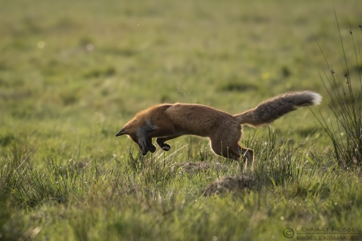 Pouncing Red Fox Red Deer