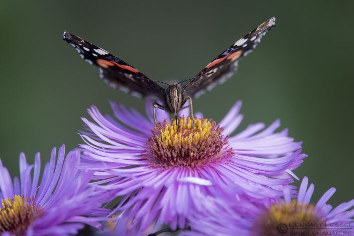 Red Admiral butterfly end