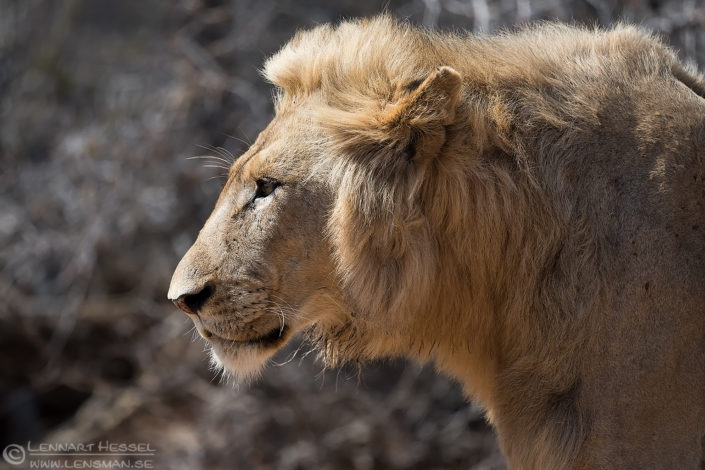 Male Lion South Africa Kruger