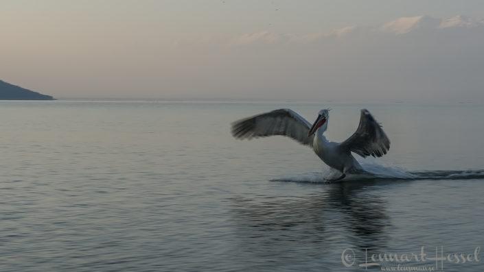 Dalmatian Pelican pano workshop