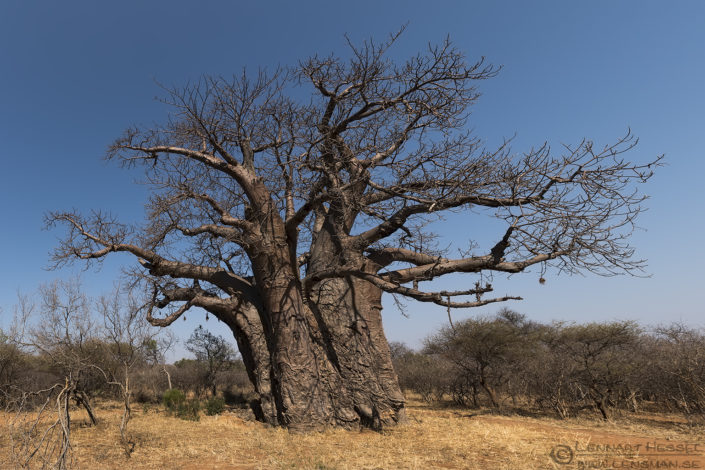 Big tree Baobab Blouberg South Africa
