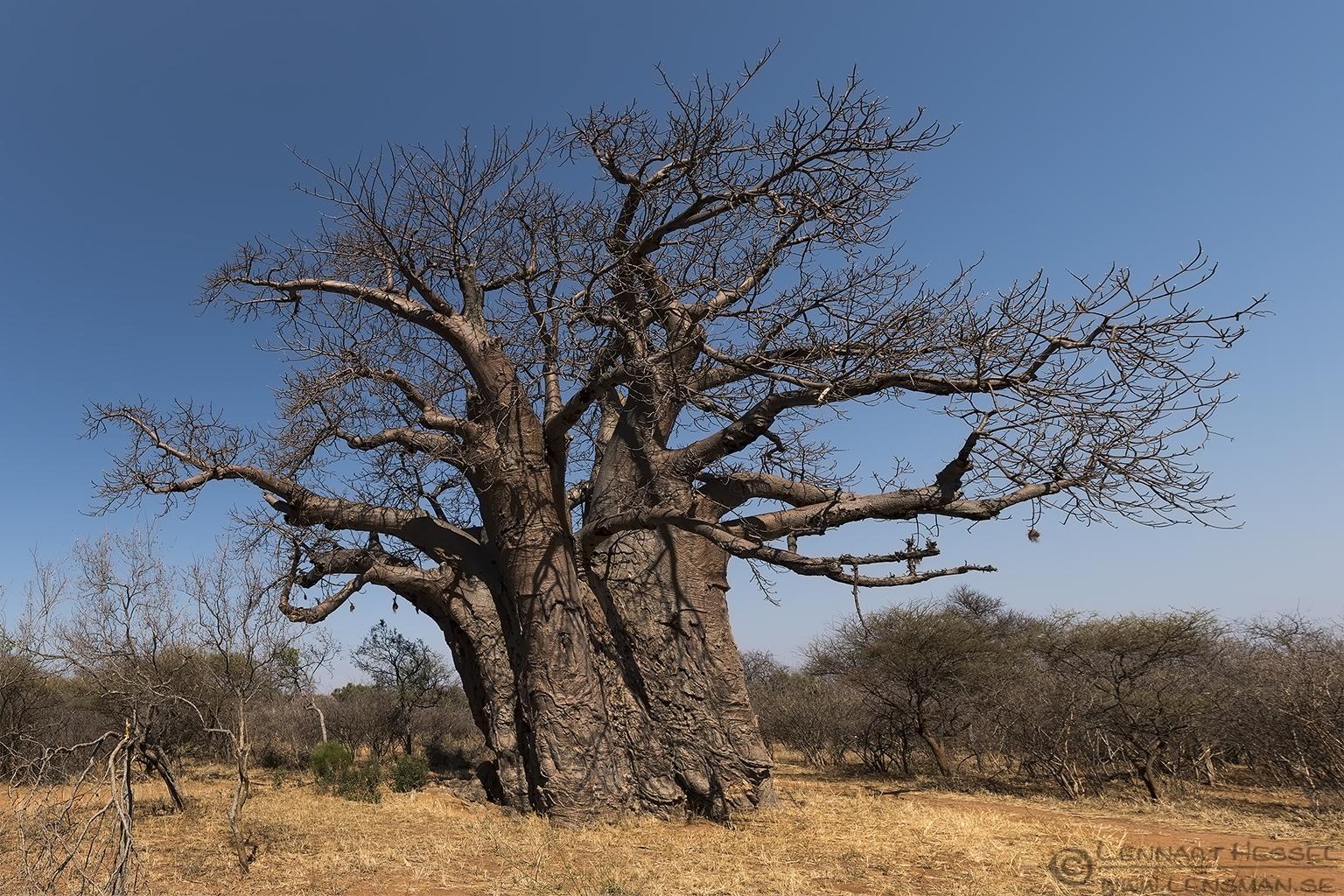 Big tree Baobab Blouberg South Africa