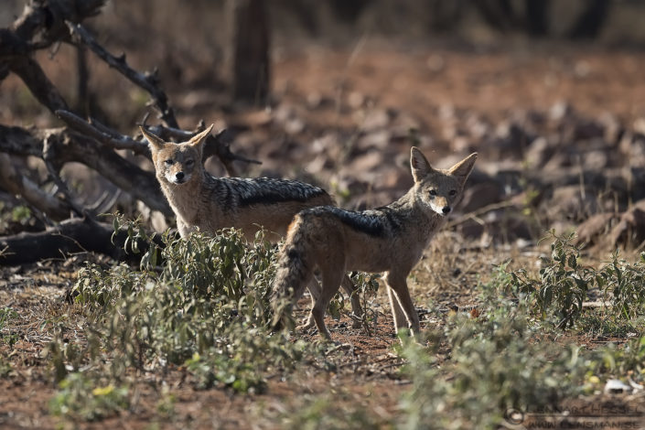 Black-backed Jackals looking Blouberg South Africa