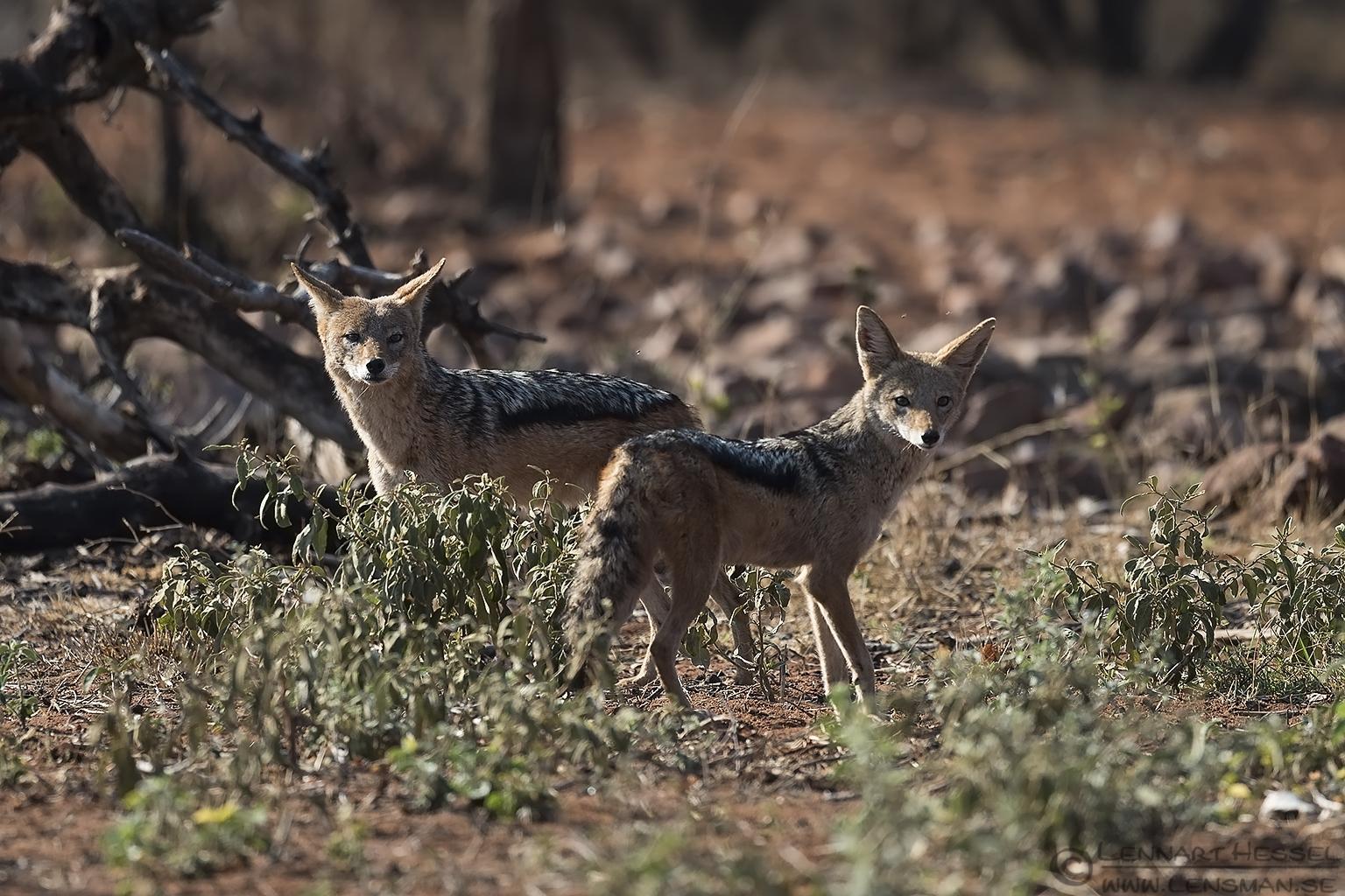 Black-backed Jackals looking Blouberg South Africa