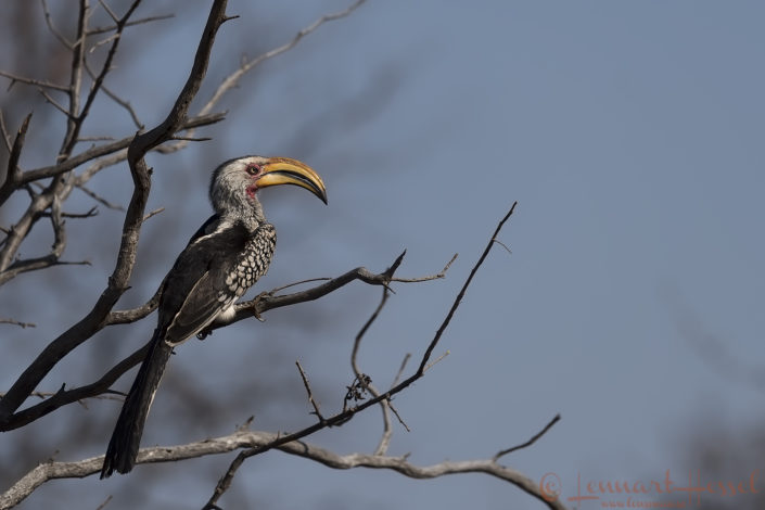 Southern Yellow-billed Hornbill Blouberg South Africa